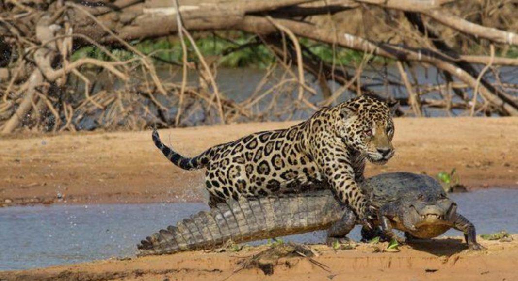 Ягуар напав на крокодила