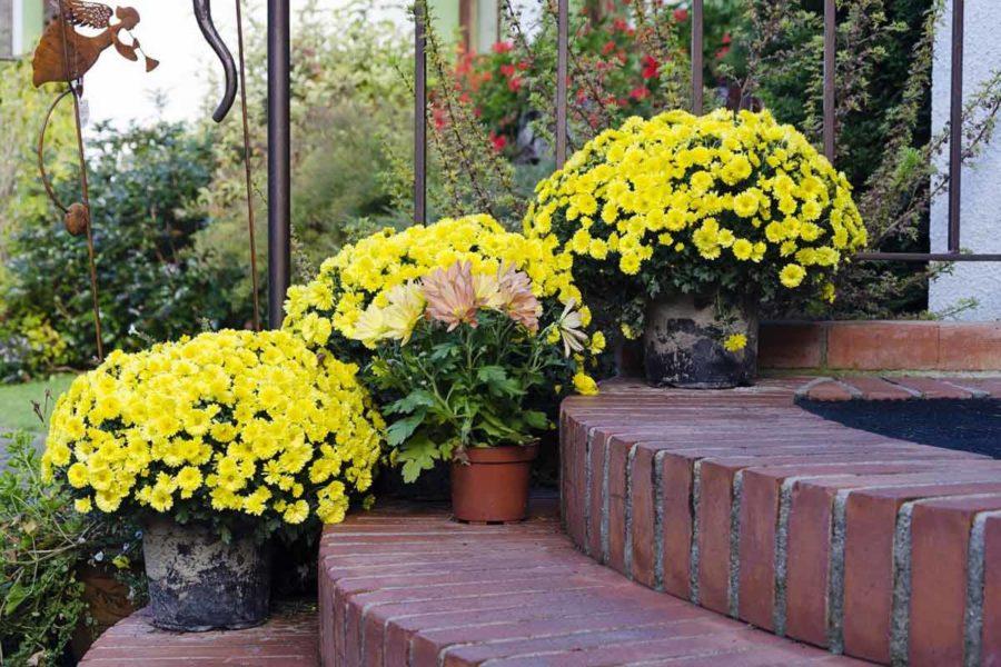 Шаровидна хризантема у горщиках у