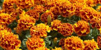 Квіти, які прикрашають сад і відлякують шкідників