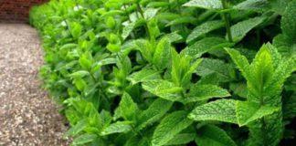 Які лікарські рослини ростуть в саду