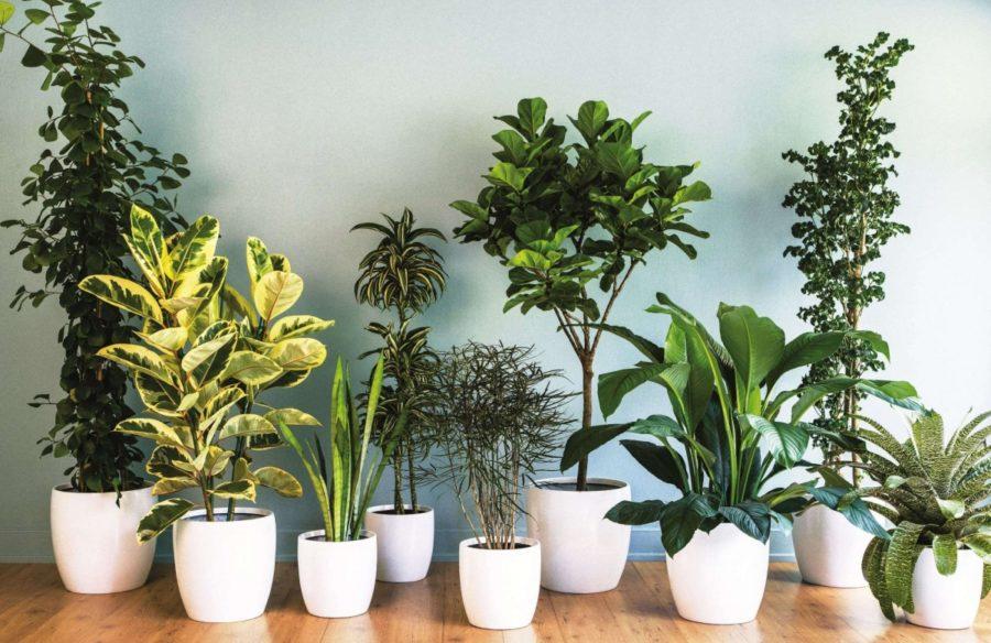 Небезпечні домашні рослини