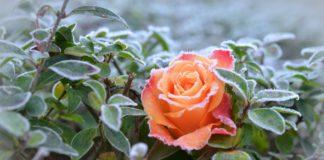 Троянда взимку