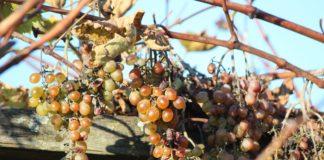 Дозрівання винограду восени