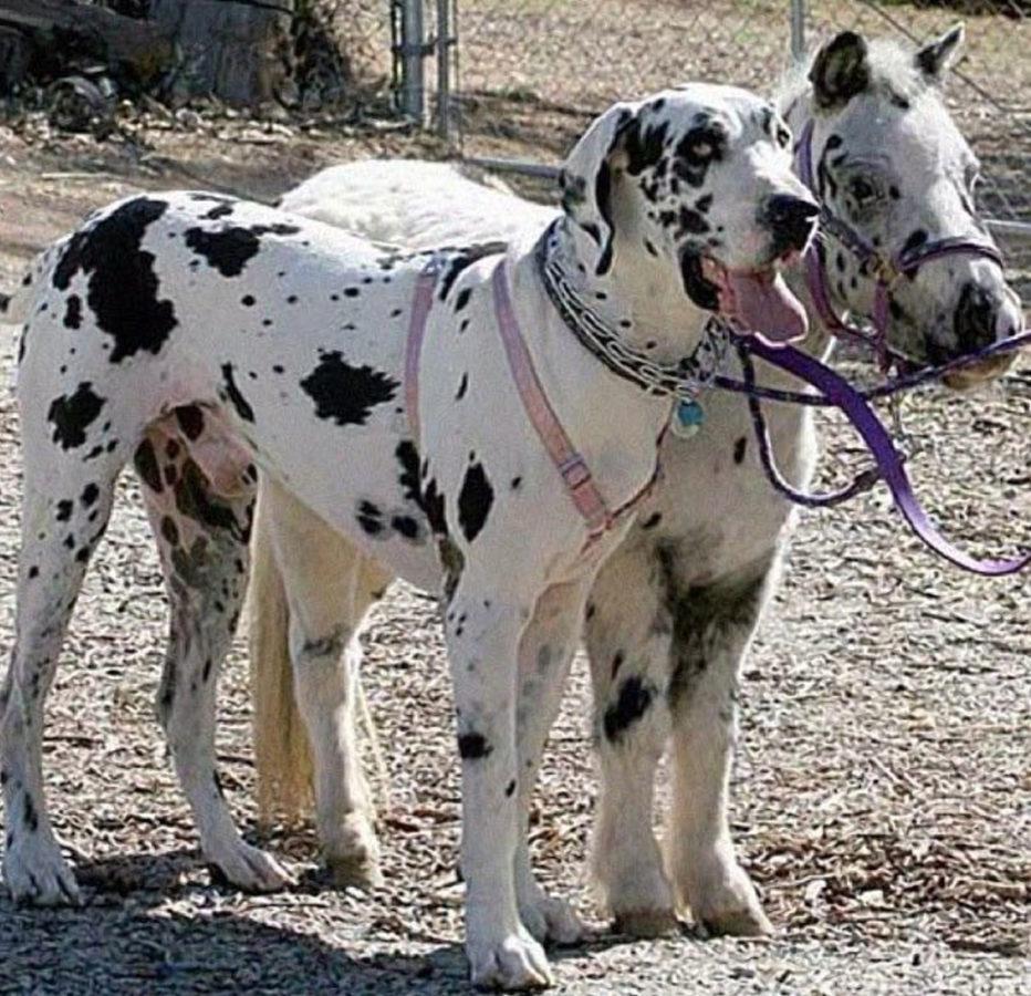 Собаку від поні не відрізнити