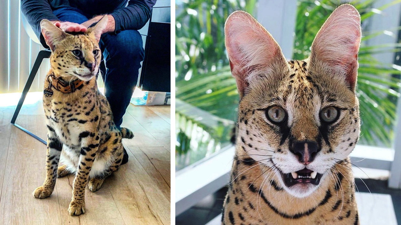 Кіт, схожий на невеликого гепарда